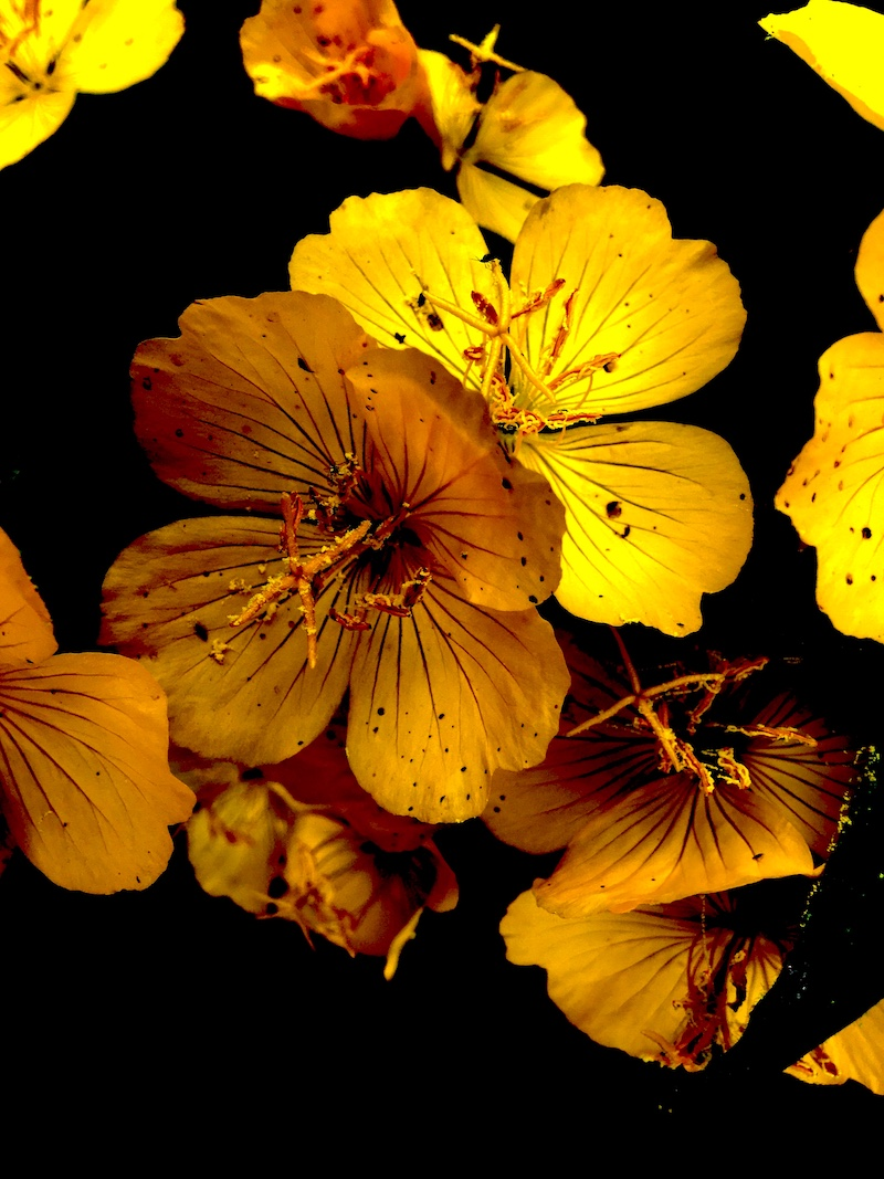 Close-up of evening primrose on black background.