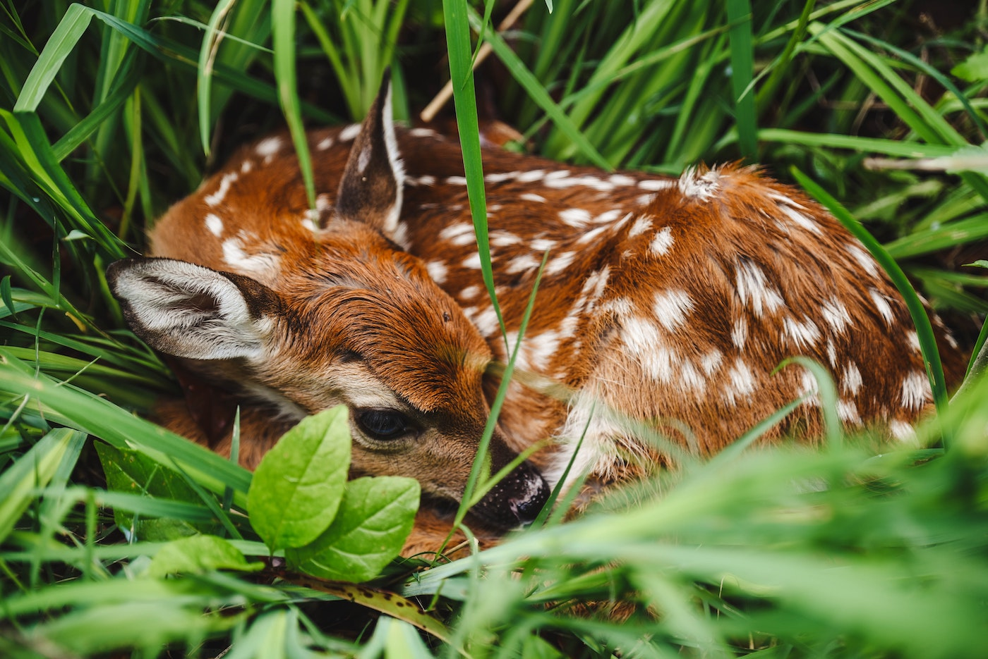 Fawn curled up in the grass