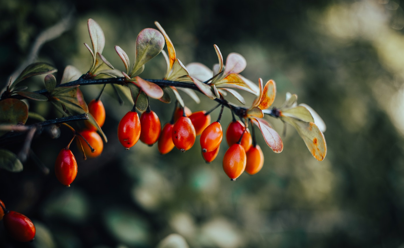 rosehips on a branch