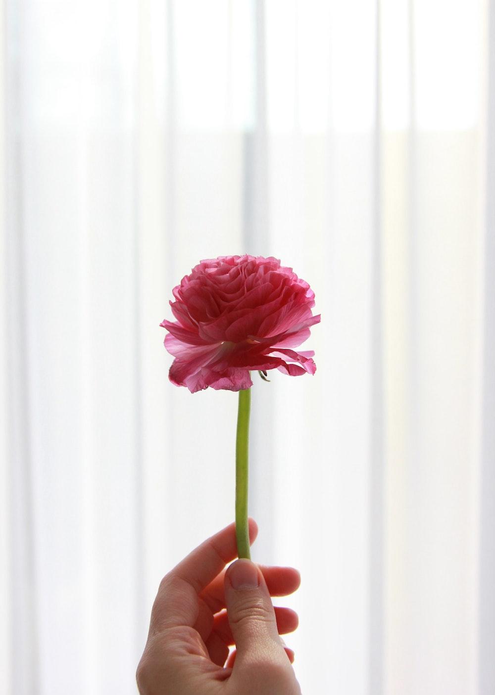 Hand holding 1 pink carnation