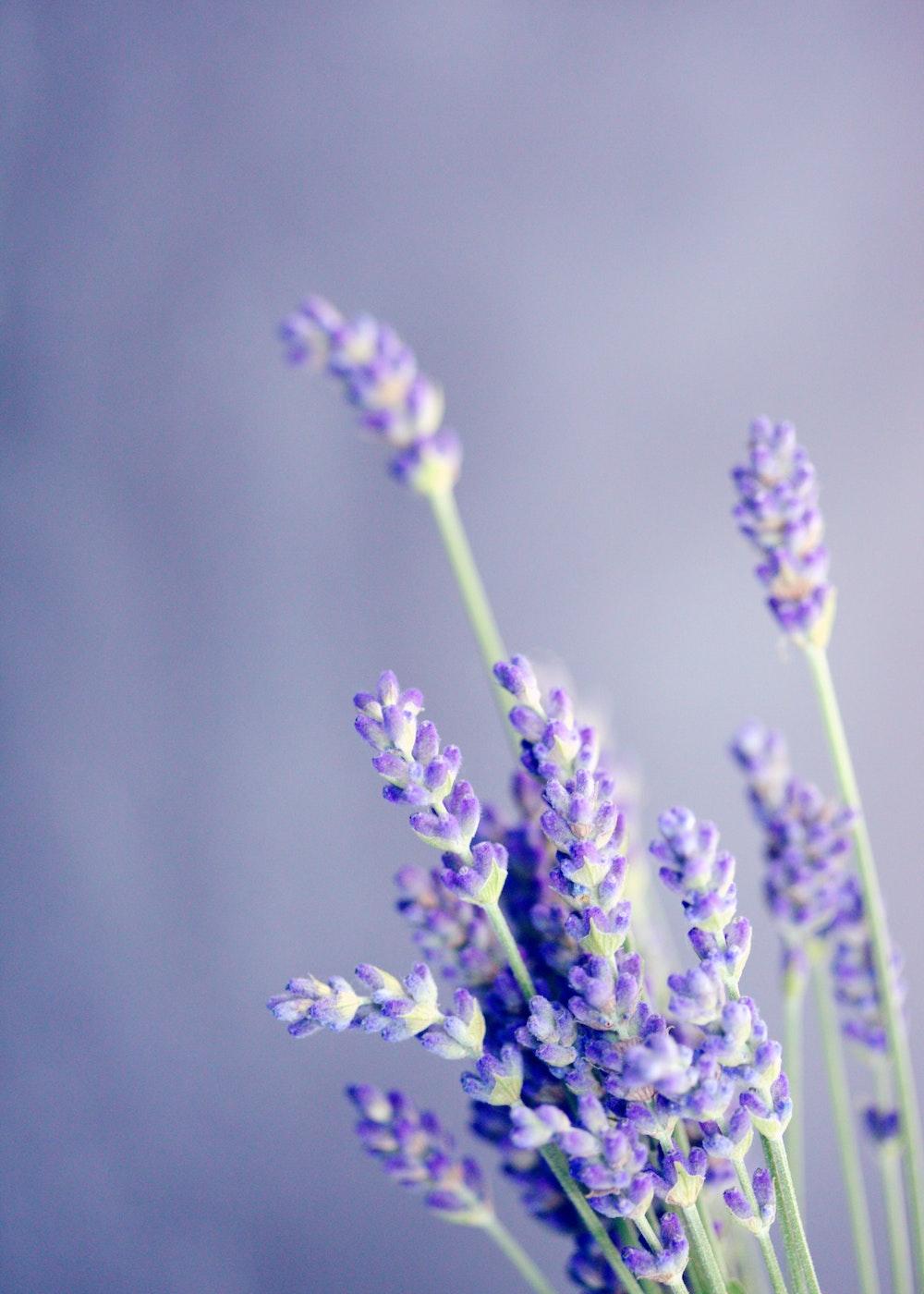 Lavender on purple background